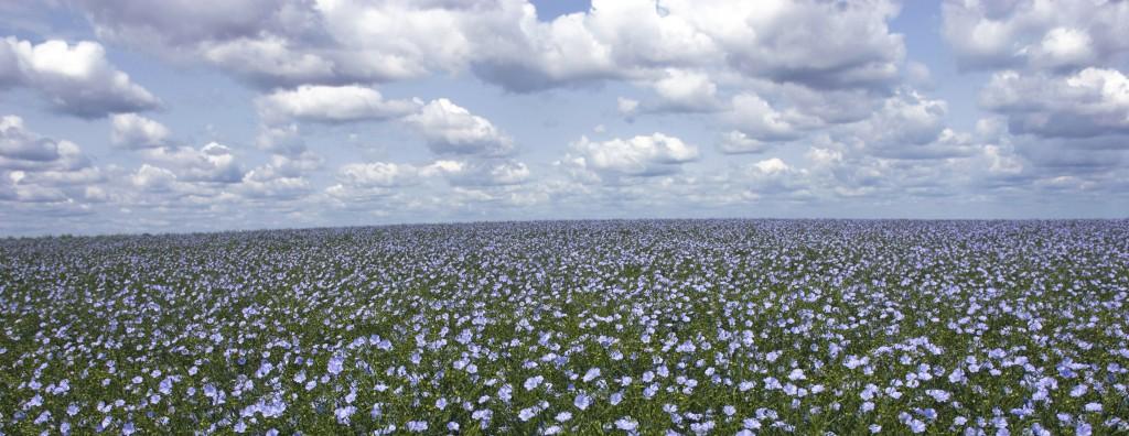 flax_field